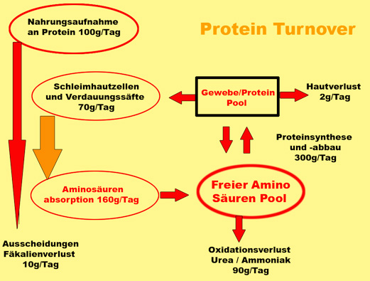Proteinsynthese